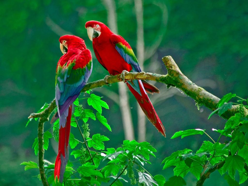 Best Love Birds Wallpaper 288