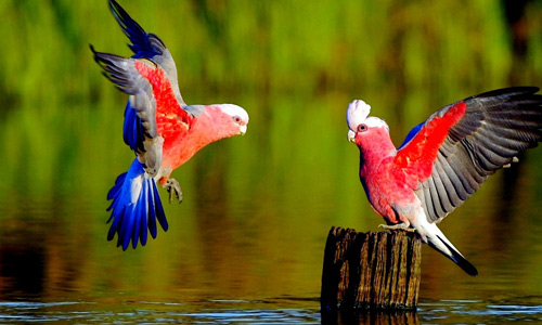 Latest Love Birds Wallpaper 488