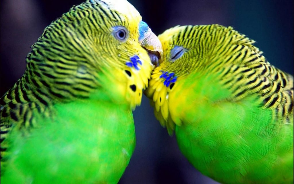 Love Birds Wallpaper 299